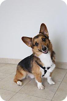 Pembroke Welsh Corgi Dog for adoption in Edina, Minnesota - Neil D161841: PENDING ADOPTION