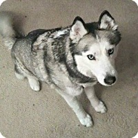 Siberian Husky Mix Dog for adoption in Corriganville, Maryland - Casey