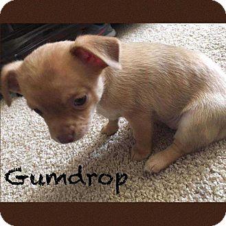 Chihuahua Mix Puppy for adoption in Allen, Texas - Gumdrop