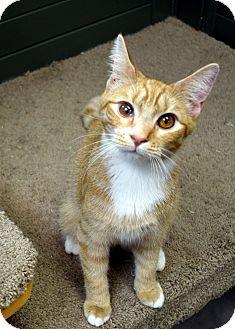 Domestic Shorthair Kitten for adoption in Virginia Beach, Virginia - Tito