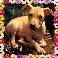 Adopt A Pet :: Bonzai - Des Moines, IA