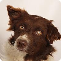Adopt A Pet :: Damien Mini Aussie - St. Louis, MO