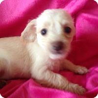 Adopt A Pet :: Tulip - Carlsbad, CA