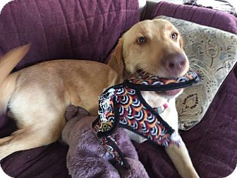 Labrador Retriever Dog for adoption in Jay, New York - Hope