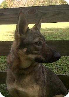 German Shepherd Dog Dog for adoption in Nashville, Tennessee - Becca