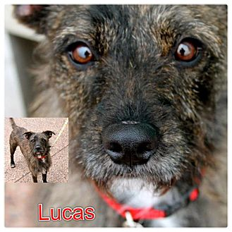 Cairn Terrier Mix Dog for adoption in Garden City, Michigan - Lucas