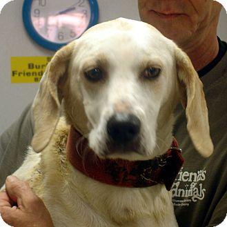 Basset Hound/Labrador Retriever Mix Dog for adoption in baltimore, Maryland - Star