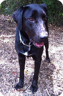 Labrador Retriever Mix Dog for adoption in Manchester, New Hampshire - PICK ME!!-Harper