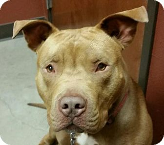 American Pit Bull Terrier Dog for adoption in Denton, Texas - Big Head Red