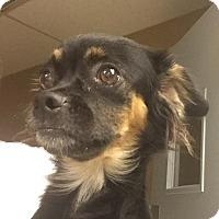 Adopt A Pet :: Sushi - Scottsdale, AZ
