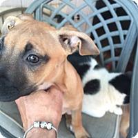 Adopt A Pet :: Jazmeen - Gilbert, AZ