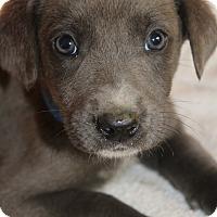 Adopt A Pet :: Sage - Waldorf, MD