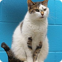 Domestic Shorthair Cat for adoption in Oakland, New Jersey - Lilly