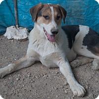 Adopt A Pet :: Canada - Iran Pup - Encino, CA