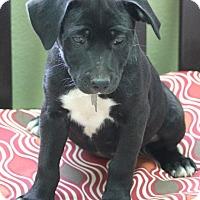 Adopt A Pet :: Dolly - Norwalk, CT