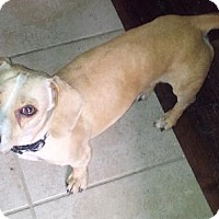 Dachshund Dog for adoption in Pearland, Texas - Noodle
