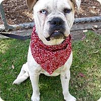 American Bulldog/Labrador Retriever Mix Dog for adoption in Irvine, California - Flash