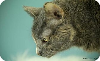 Domestic Shorthair Cat for adoption in Whitewater, Wisconsin - Helen