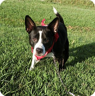 Boston Terrier/Border Collie Mix Dog for adoption in Columbia, Tennessee - Jack