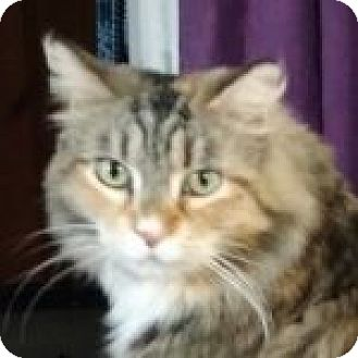Domestic Longhair Cat for adoption in Medford, Massachusetts - Leslie