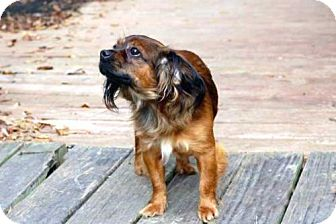 Cavalier King Charles Spaniel Mix Dog for adoption in Brattleboro, Vermont - BENJAMIN BUTTONS