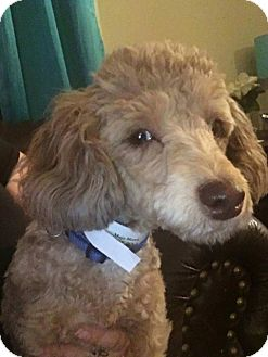 Poodle (Miniature) Dog for adoption in Newport, Kentucky - MOJO Morris
