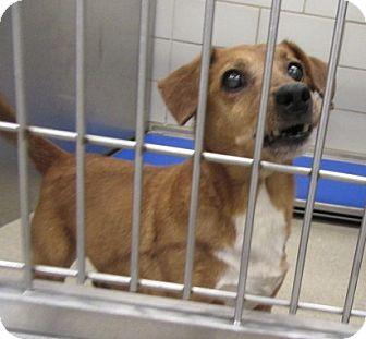 Dachshund Mix Dog for adoption in North Richland Hills, Texas - Brandon