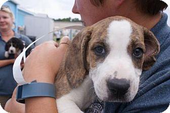 Bloodhound Mix Dog for adoption in Manteo, North Carolina - Stella