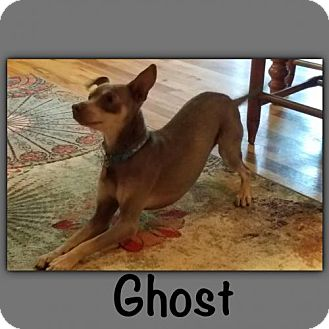 Miniature Pinscher Dog for adoption in Genoa City, Wisconsin - Ghost