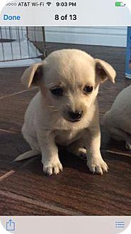 Chihuahua Puppy for adoption in Chino, California - Chloe
