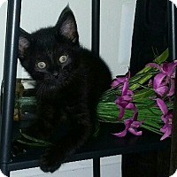 Adopt A Pet :: Kitten (COURTESY POST) - Baltimore, MD