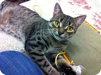 Domestic Shorthair Cat for adoption in Warminster, Pennsylvania - Jingles