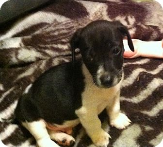 Jack Russell Terrier/Feist Mix Puppy for adoption in Indian Trail, North Carolina - Rebel