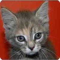 Adopt A Pet :: GWEN - SILVER SPRING, MD