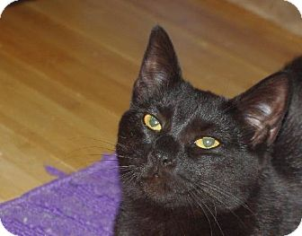 Domestic Shorthair Cat for adoption in Longview, Washington - Darby & Dixie