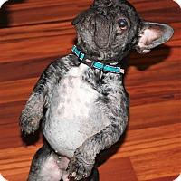 Adopt A Pet :: Gizmo - Columbus, OH