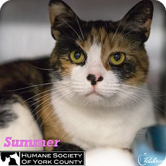 Calico Cat for adoption in Fort Mill, South Carolina - Summer
