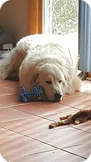 Great Pyrenees Dog for adoption in Lee, Massachusetts - Kleveland - in MASS