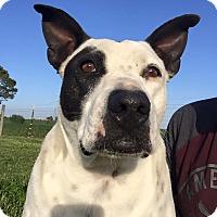Adopt A Pet :: Petie - Russellville, KY