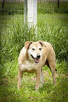 Dutch Shepherd Mix Dog for adoption in Poland, Indiana - Dirk