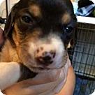 Adopt A Pet :: Baby Blue's pup Brooke