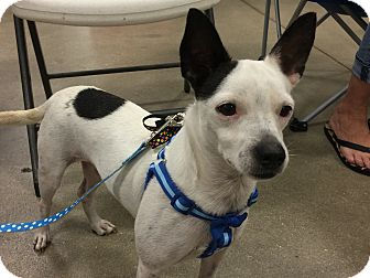 Terrier (Unknown Type, Small) Mix Dog for adoption in Fort Myers, Florida - Hitch