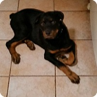 Rottweiler Puppy for adoption in Gilbert, Arizona - Bronco