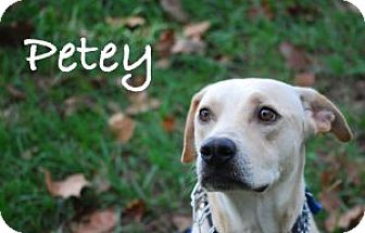 Labrador Retriever Mix Dog for adoption in Minneola, Florida - Petey