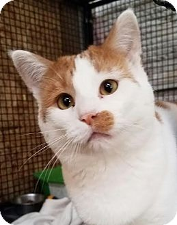 Domestic Shorthair Cat for adoption in Colfax, Iowa - Rocky