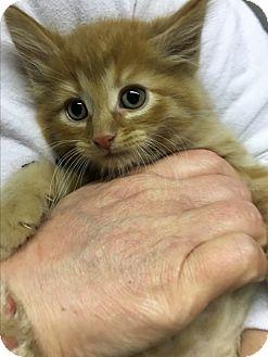 Domestic Mediumhair Kitten for adoption in Butner, North Carolina - Jolly
