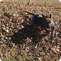 Labrador Retriever/Plott Hound Mix Puppy for adoption in siler city, North Carolina - Peter