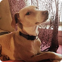 Pointer/Hound (Unknown Type) Mix Puppy for adoption in Vancouver, British Columbia - Louise