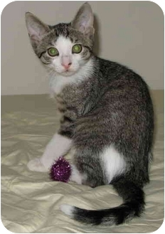 Domestic Shorthair Kitten for adoption in cincinnati, Ohio - Penny's kittens