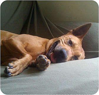 Houston, TX - German Shepherd Dog/Rhodesian Ridgeback Mix ...